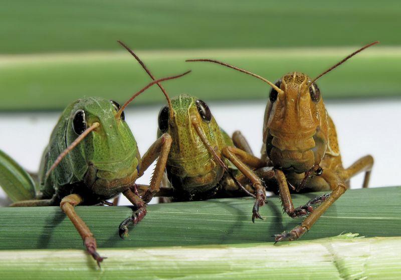 LocustLarge