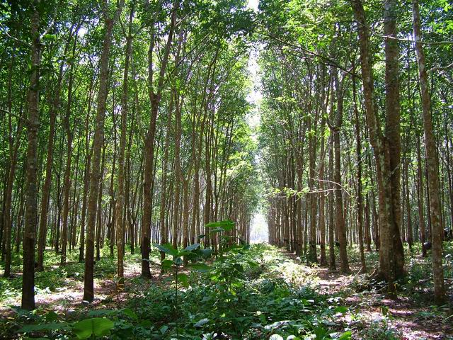 Rubber plantation2