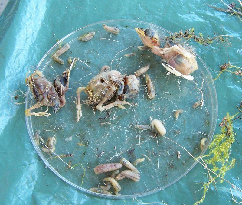 Dead chicks_Philornis larvae