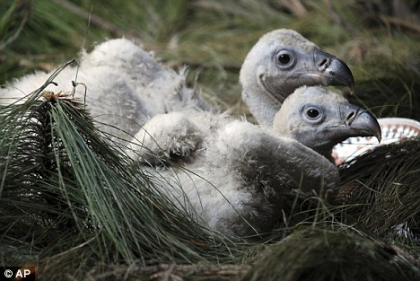 Vulture chicks2