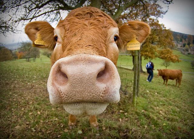 Cow nose close-up