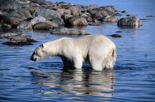 Polar bear44196