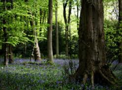 English bluebells forest