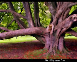 The Old Sycamore Tree