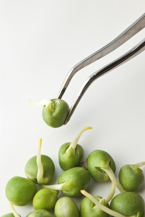 Sprouting peas on tweezer small