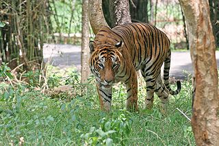 Bengal_Tiger_in_Bangalore