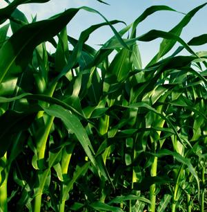 Biofuel_or_food