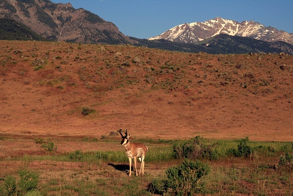 Pronghorn_in_Yellowstone_National_Park_1