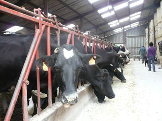 Holstein dairy cattle France 2