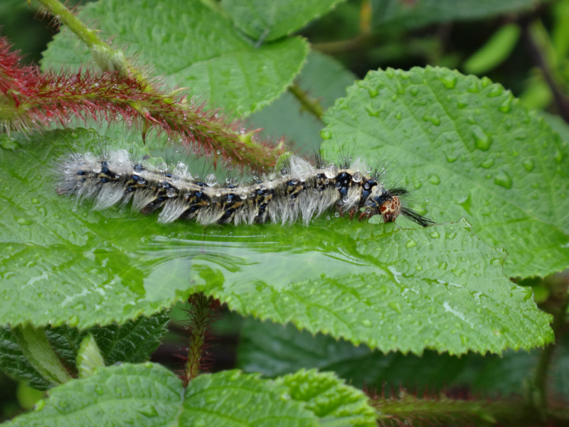 Lepidoptera feeding on Rubus ellipticus