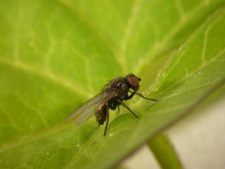 Melanagromyza albocilia (1)