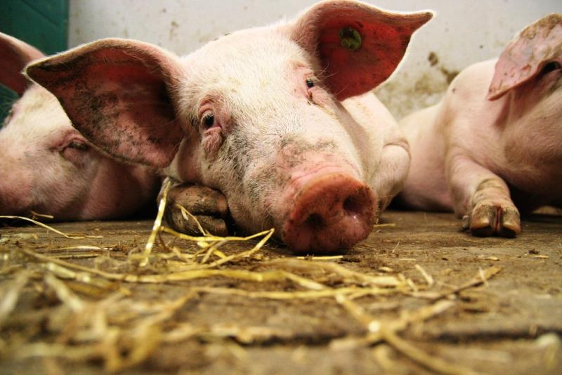 Pig #