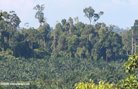 Oil_palm_abutting_rainforest_borneo