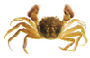 Chinesemittencrabside2_edited_img_n