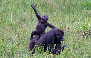 Gorillas_3